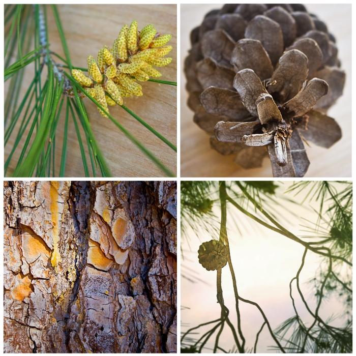Pine Tree Squares